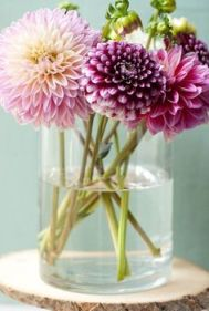 Simple Dahlias are available in most supermarkets
