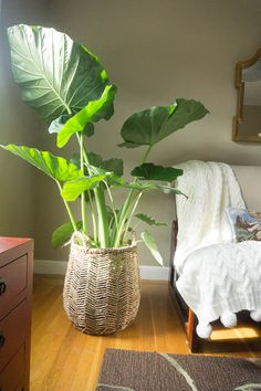 Alocassia Colocasia or Elephant ear.